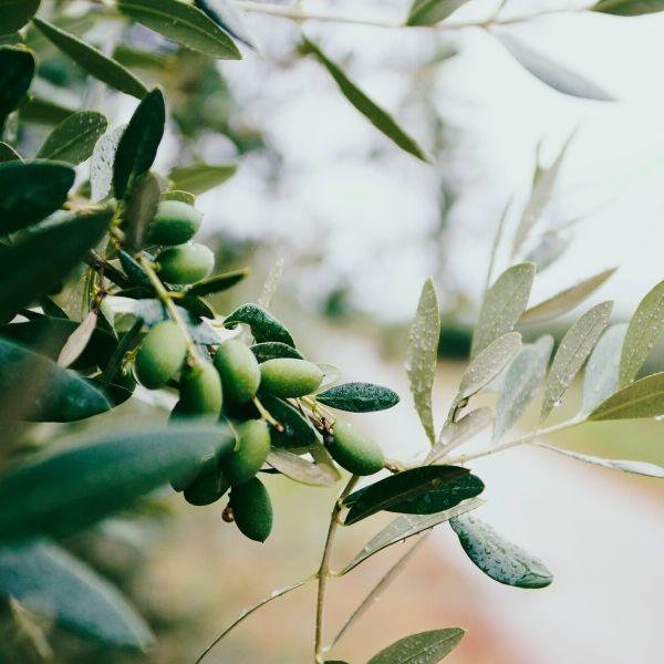 francesca-valmassoi-olive-fioredibach